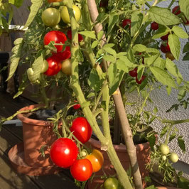Tomate: Roter Heinz