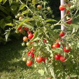Tomate: Rote Murmel