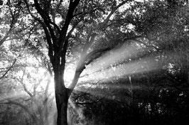 Shaft Light Through Oak