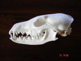 Rotfuchs-Schädel