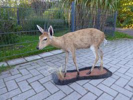 Duiker - Kleinste afrikanische Antilope