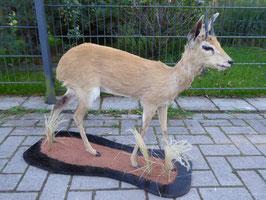 Steinböckchen - afrikanische Antilope