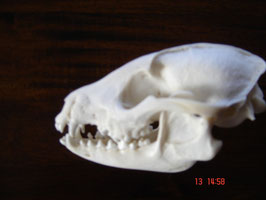 Marderhund-Schädel