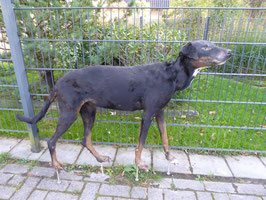 Hund Dobermann-Mix