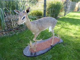 Dikdik - Kleinste afrikanische Antilope