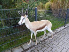 Springbock - afrikanische Antilope