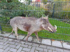 Warzenschwein-Keiler