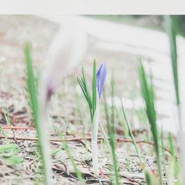 Tableau-haïku - Violet d'un crocus