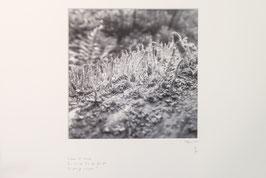 Tableau Risoux - Mousses et lichens
