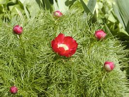 P. tenuifolia 'Rubra' Sämlinge F2