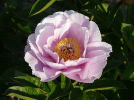 May Lilac