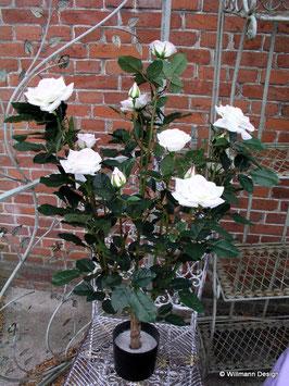 Rosenstrauch im Topf rosa
