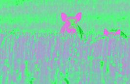 Wildschwein Pink