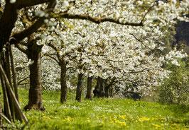 180418-489                  Baumblüte bei Sipplingen