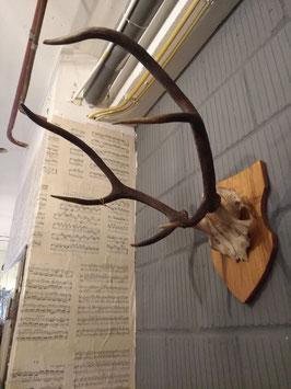 Mooi groot gewei met schedel van edelhert op schild, afmetingen 50 x 40 x 60 cm