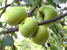 Blanker Apfel