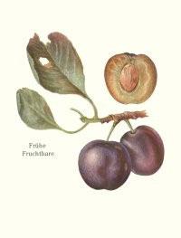 Frühe Fruchtbare