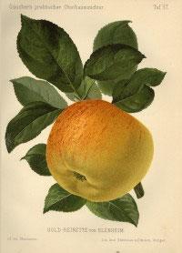 Goldrenette von Blenheim