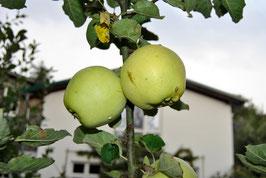 Apfel von Croncels
