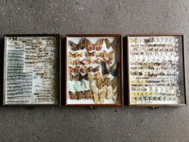 echte Schmetterlinge im Schaukasten aus Sammlung Set 9