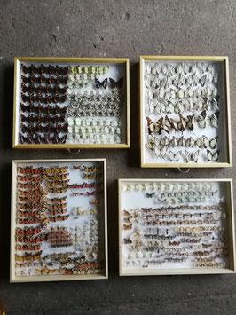 echte Schmetterlinge im Schaukasten aus Sammlung Set 5
