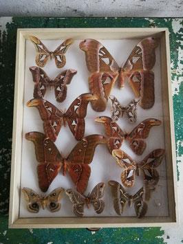 echte Falter Schmetterlinge Atlasfalter im Schaukasten NR 12