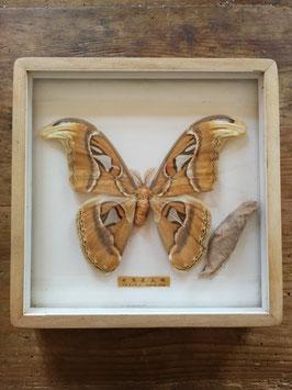 echter Falter Schmetterlinge Atlasfalter im Schaukasten NR gi-0203
