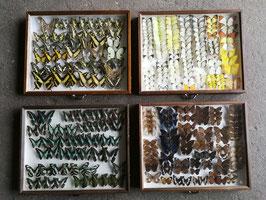 echte Schmetterlinge im Schaukasten aus Sammlung Set 7