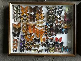 echte Schmetterlinge im Schaukasten Nr 10-02