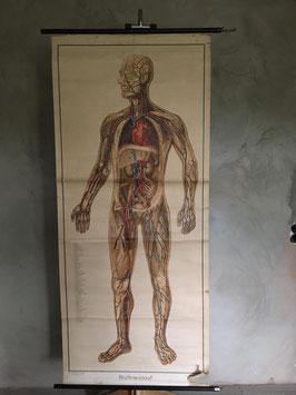 alte Schulkarte Mensch Blutkreislauf Lebensgroß nr 20