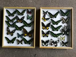 echte Schmetterlinge im Schaukasten aus Sammlung Set 2