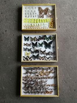 echte Schmetterlinge im Schaukasten aus Sammlung Set 3