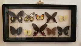 Sehr schöne alte Sammlung echter Schmetterlinge im großen Schaukasten Nr gi-0303