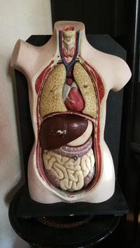 altes antikes Modell innere Organe Biologie Schule Medizin Nr 0712