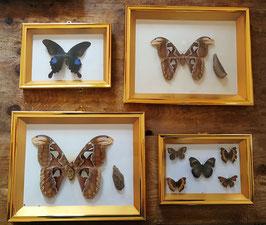 Schöne Sammlung echter Schmetterlinge in edlem Rahmen Nr 0403