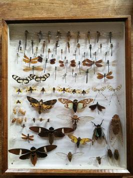 echte Insekten Falter Libellen etc. im Schaukasten NR 11