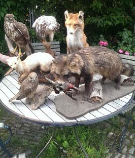 Sammlung alter Tierpräparate einheimischer Tiere
