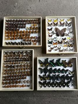 echte Schmetterlinge im Schaukasten aus Sammlung Set 6