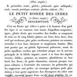 "IOD Decor Transfers ""Le Petit Rosier"" groß"