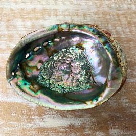 Abalone Muschel standard