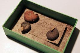 """3 historische Gehäuse von """"Ammonites Aalensis"""""""