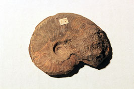 """""""Ammonites radians"""" von Freistatt"""