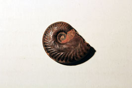"""""""Ammonites hecticus canaliculatus"""""""