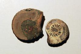 """2x """"Ammonites costatus"""" (historische Stücke)"""