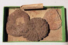 """3x """"Ammonites"""" geschliffen"""