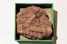 Historisches Handstück mit Turritella