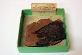 Neuropteris angustifolia (historisches Handstück mit Fiederresten)