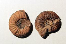 "2x ""Ammonites Amaltheus"""