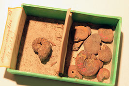 """Ammonites ornatus"" & ""Ammonites deltafaliatus(?)"""