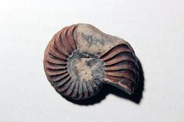 """""""Ammonites costatus"""" von Altdorf"""